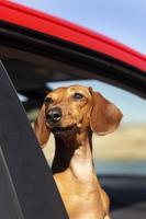 smiley hund ser bra ut på picknickplats foto