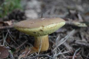 svamp från marken i en skog foto