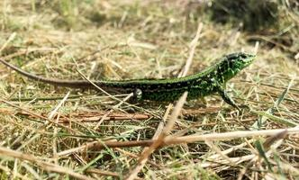 vackra gröna skalor till kropp ödla sitter i torrt gräs foto