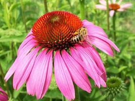 bevingat bi flyger långsamt till växten, samlar nektar för honung foto