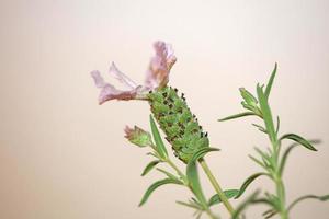 aromatisk växt blomning närbild lavandula stoechas familj lamiaceae foto