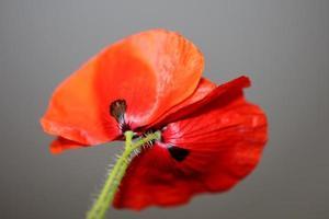 papaver blomma blomning närbild familj papaveraceae botaniska primts foto