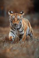 siberian tiger panthera tigris altaica detaljporträtt foto