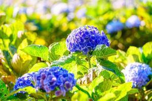 blommande blå hortensior blommar i trädgården. foto