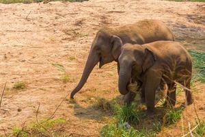 asiatisk elefant det är ett stort däggdjur foto