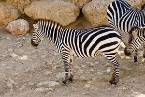 zebror i zoo i Jerusalem foto