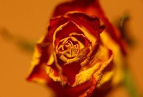 rosa blomma närbild familj rosaceae modern hög kvalitet stor storlek foto