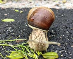 liten trädgårdssnigel i skal som kryper på våt väg, snigel skynda hem foto