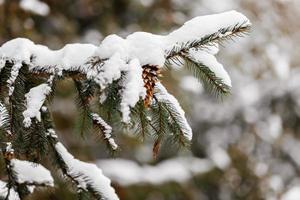 grenar och nålar av gran täckta med snö i vinterskogen foto