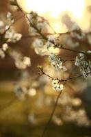 vårsäsong. vårkörsbärsblommor, vita blommor foto