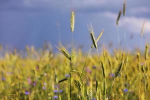 vete fält mognar före skörd på en solig dag foto