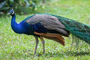 gå påfågel i trädgården foto