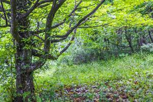 gammalt stort träd i skogen Plitvice Lakes National Park. foto
