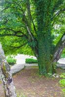 gammalt stort träd bevuxet med murgröna plitvice sjöar nationalpark. foto
