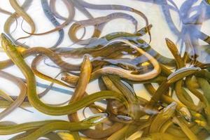 många ål samlade i akvariet bangrak marknaden ko samui thailand. foto