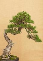 bonsaiträd på gul bakgrund foto