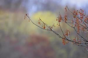 närbild skott av färska unga blad på lönn trädgren foto