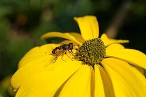 insekterna samlar pollen i trädgården foto