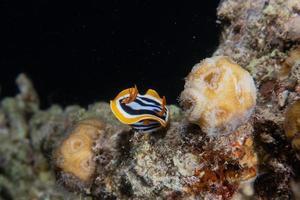 havssnigel i Röda havet färgglada och vackra, eilat israel foto