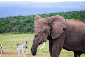 afrikanska elefanter i Sydafrika, elefanter i Sydafrika foto