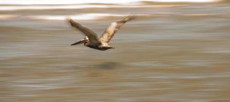 abstrakta pelikaner under flygning vid stranden av Atlanten foto