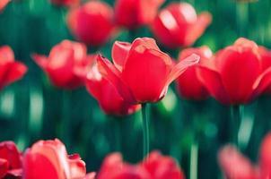 röd vacker tulpan i blom som står ut ur fältet suddiga blommor foto