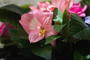 rosa alstroemeria bakgrund foto