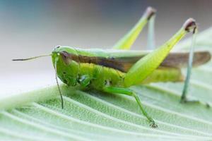 närbild av gräshoppa på bladet foto