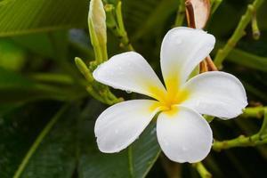 vit plumeria blomma på trädet efter regn. foto