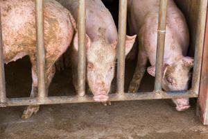 smutsiga grisar i en smutsig stall på en gård, Thailand foto