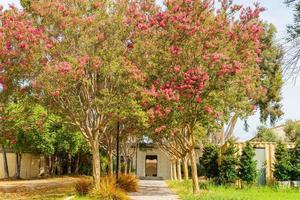 morgonsolig utsikt över lagerstroemi blommar i occidental college foto