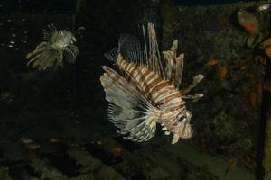 lionfish i Röda havet färgglada fiskar, eilat israel foto