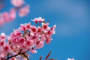 vacker sakura eller körsbärsblomning på våren foto