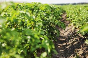 ung potatisväxt som växer på jorden. potatisbuske i trädgården foto