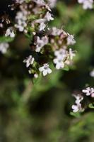 blomma blomma närbild thymus vulgaris familj lamiaceae bakgrund foto