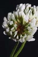 blomma blomma närbild bakgrund trifolium nigrescens leguminosae foto