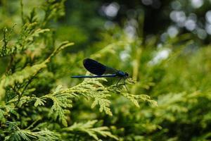 den blå trollsländan calopteryx splendens foto