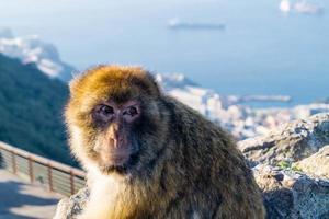 magot barbary apor sylvanus macaca apa på gibraltar foto