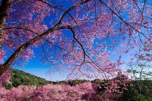 vackra körsbärsblommor foto