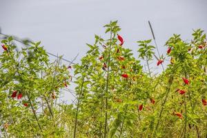 röda hibiskusblommor foto
