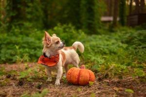 rolig liten chihuahua och pumpa för halloween. foto