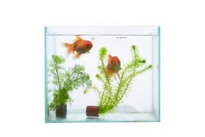 akvarium med fisk och vattenväxter isolerade på en vit bakgrund. foto
