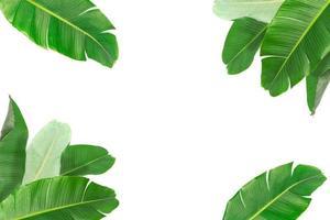 stora gröna bananblad av exotiska palmer på vit bakgrund. foto
