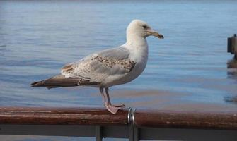 mås fågel djur foto