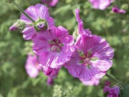 vackra rosa träd malva blommor malva thuringiaca foto