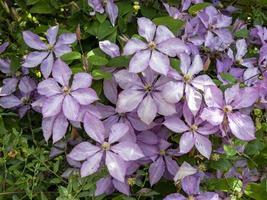 ganska lila klematisblommor i en trädgård foto
