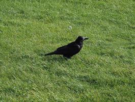 kråka fågel djur foto