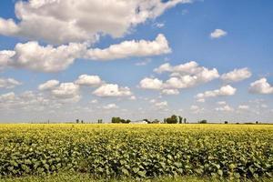 ett solrosfält under en blå molnfylld himmel foto