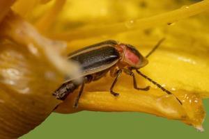 närbild av eldfluga på en växt foto