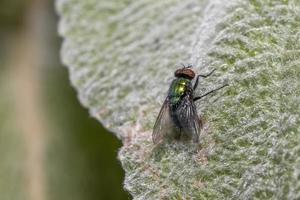 närbild av husfluga på ett blad foto